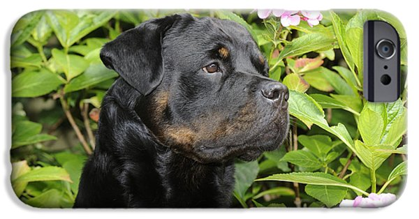 Dog Close-up iPhone Cases - Rottweiler Dog iPhone Case by John Daniels