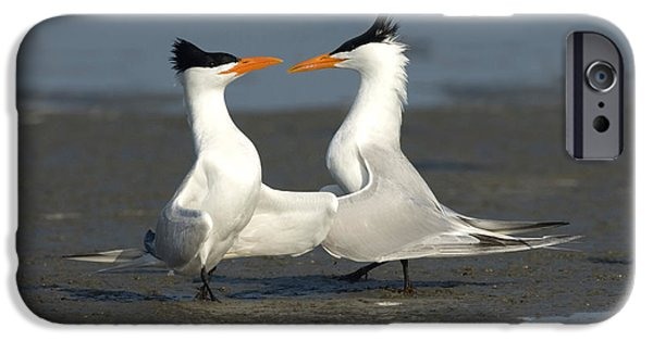 Fauna iPhone Cases - Royal Tern Pair Doing Royal Dance iPhone Case by Anthony Mercieca
