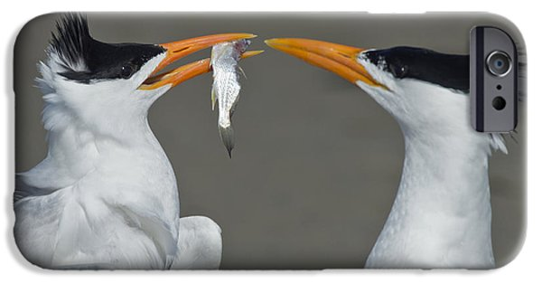 Negotiating iPhone Cases - Royal Terns iPhone Case by Anthony Mercieca