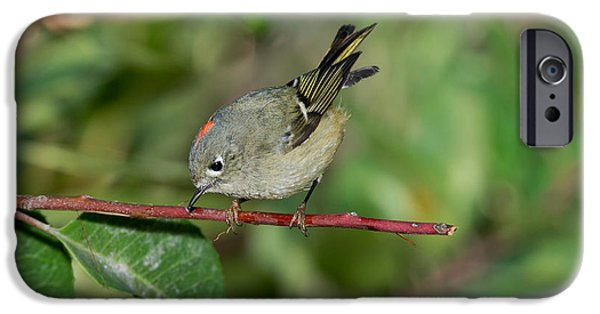 Us Wildllife iPhone Cases - Ruby-crowned Kinglet Showing Crown iPhone Case by Anthony Mercieca