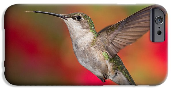 Archilochus Colubris iPhone Cases - Ruby Throated Hummingbird iPhone Case by Dale Kincaid