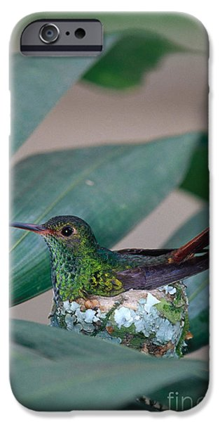 Rufous-tailed Hummingbird On Nest iPhone Case by Gregory G Dimijian MD