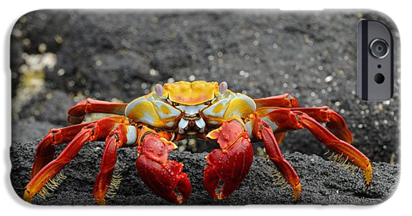 Red Rock iPhone Cases - Sally Lightfoot Crab On Lava Rock iPhone Case by Malcolm Schuyl