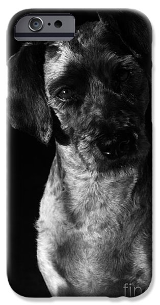 Cute Schnauzer iPhone Cases - Sam iPhone Case by Larry Ricker