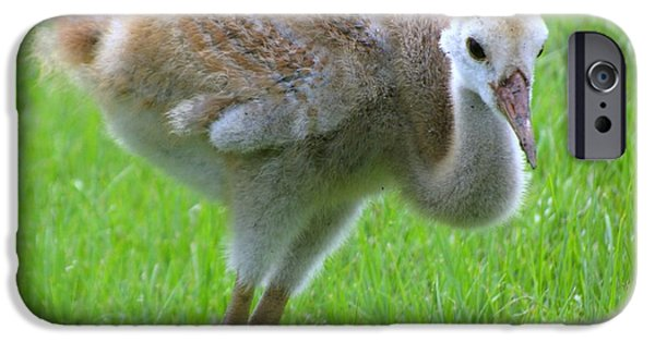 Summer iPhone Cases - Sandhill crane chick I iPhone Case by Zina Stromberg