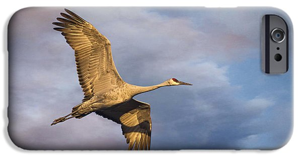 Nebraska iPhone Cases - Sandhill Crane in Flight iPhone Case by Priscilla Burgers