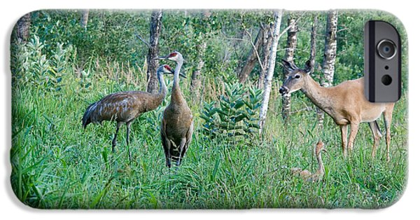 Feeds Chicks iPhone Cases - Sandhill Cranes And A White-tailed Doe iPhone Case by Linda Freshwaters Arndt