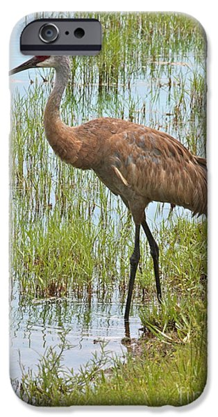 Florida Wildlife iPhone Cases - Sandhill in the Marsh iPhone Case by Carol Groenen