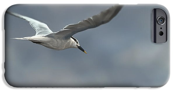 Tern iPhone Cases - Sandwich Tern iPhone Case by Aaron Blaise