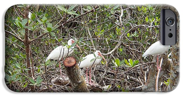 Mangrove Forest iPhone Cases - Sanibel White Ibis iPhone Case by Curtis Krusie