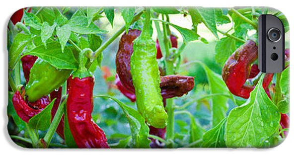 Hot Peppers iPhone Cases - Santa Fe Grande Hot Peppers On Bush iPhone Case by Panoramic Images
