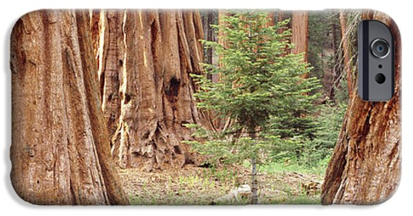 Young iPhone Cases - Sapling Among Full Grown Sequoias iPhone Case by Panoramic Images