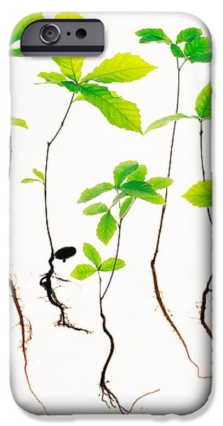 Cut-outs iPhone Cases - Saplings With Root On White Background iPhone Case by Panoramic Images