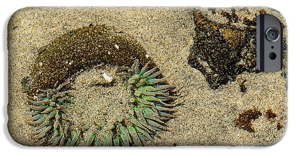 Fine Art Of Big Sur Gallery iPhone Cases - Sea Anenome Half Buried in the Sand iPhone Case by Artist and Photographer Laura Wrede
