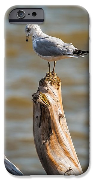Inexpensive iPhone Cases - Sea gull On Driftwood iPhone Case by Paul Freidlund