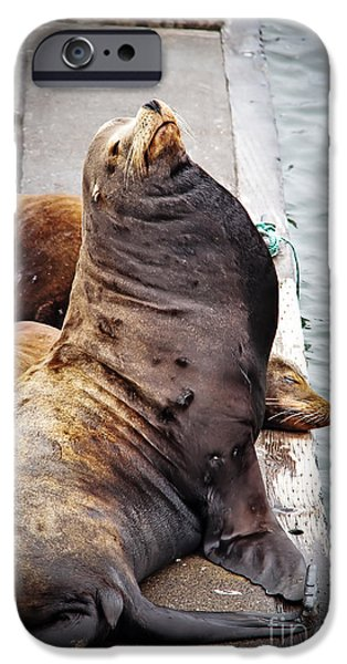 California Sea Lions iPhone Cases - Sea Lion iPhone Case by Robert Bales