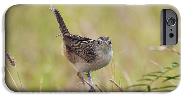 Wren iPhone Cases - Sedge Wren iPhone Case by Anthony Mercieca