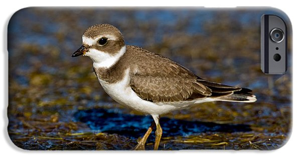 Us Wildllife iPhone Cases - Semipalmated Plover iPhone Case by Anthony Mercieca
