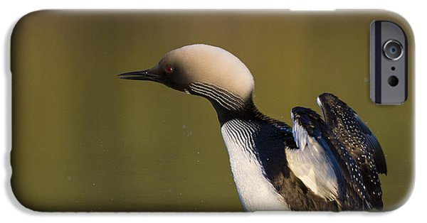 Loon iPhone Cases - Settling into the Water iPhone Case by Tim Grams
