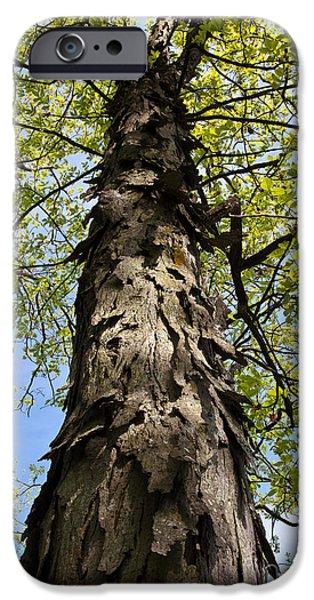 Arkansas iPhone Cases - Shagbark Hickory Tree iPhone Case by Greg Dimijian