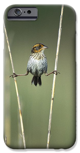 New Individuals iPhone Cases - Sharp-tailed Sparrow On Reeds Long iPhone Case by Tom Vezo