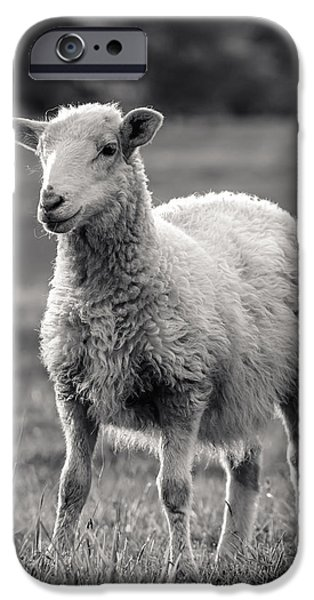 Sheep iPhone Cases - Sheep Art  iPhone Case by Lucid Mood