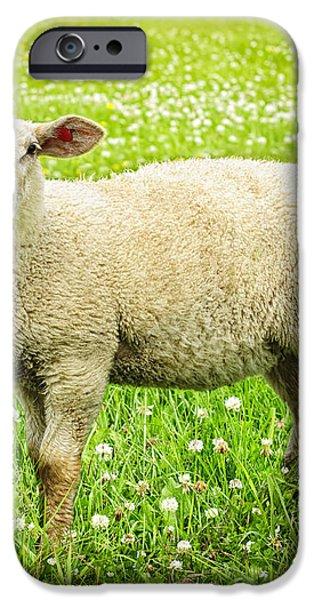 Sheep in summer meadow iPhone Case by Elena Elisseeva
