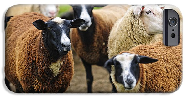 Grazing Sheep iPhone Cases - Sheep on a farm iPhone Case by Elena Elisseeva