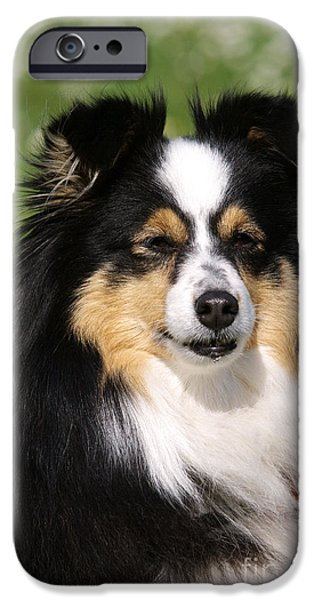 Shetland Sheepdog iPhone Cases - Shetland Sheepdog iPhone Case by Brinkmann/Okapia