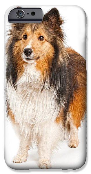 Sheltie iPhone Cases - Shetland Sheepdog Dog Isolated on White iPhone Case by Susan  Schmitz