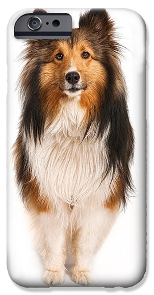 Sheltie iPhone Cases - Shetland Sheepdog Looking at Camera iPhone Case by Susan  Schmitz