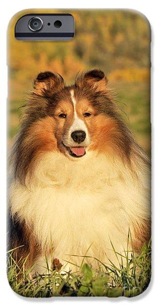 Shetland Sheepdog iPhone Cases - Shetland Sheepdog iPhone Case by Rolf Kopfle