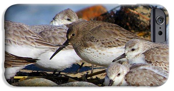Harbor Sesuit Harbor iPhone Cases - Shorebirds Huddle in The Wind iPhone Case by Dianne Cowen