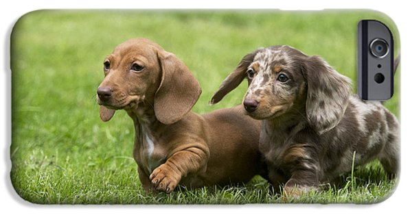 Mini Dachshund iPhone Cases - Short-haired Dachshund Puppies iPhone Case by John Daniels