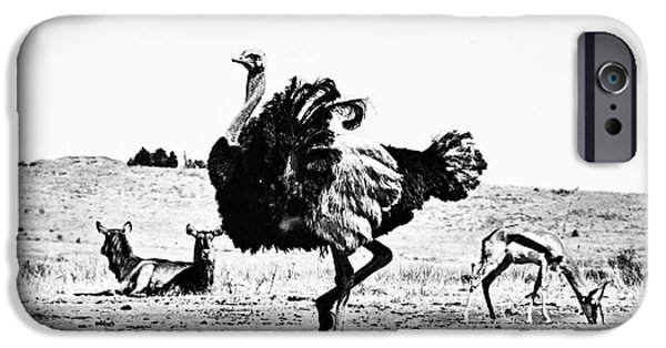 Ostrich iPhone Cases - Show-Off V2 iPhone Case by Douglas Barnard