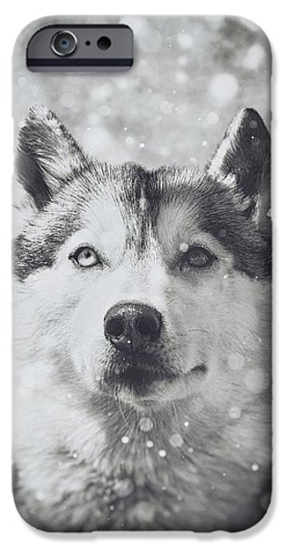 Huskies Photographs iPhone Cases - Siberian Husky in the Snow iPhone Case by Wolf Shadow  Photography