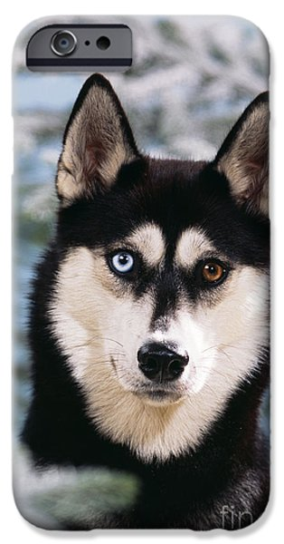 Dog Close-up iPhone Cases - Siberian Husky iPhone Case by John Daniels
