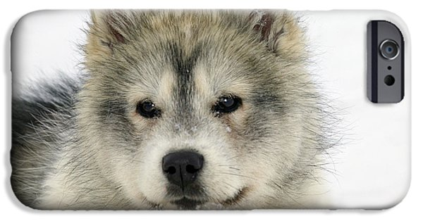Huskies iPhone Cases - Siberian Husky Puppy iPhone Case by M. Watson
