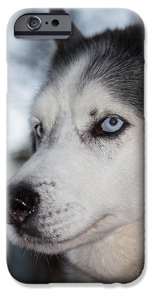 Huskies iPhone Cases - Siberian Husky iPhone Case by Robert Yaeger