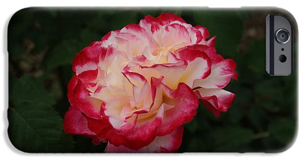 Etc. Photographs iPhone Cases - Side of Red White Rose... iPhone Case by Rob Luzier