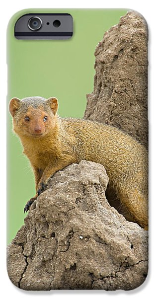 Tarangire iPhone Cases - Side Profile Of A Dwarf Mongoose iPhone Case by Panoramic Images