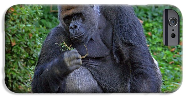 Smithsonian National Zoological Park iPhone Cases - Silverback Gorilla iPhone Case by Suzanne Stout