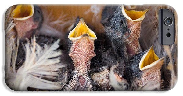 Swallow Chicks iPhone Cases - Singing for Supper iPhone Case by Bill Pevlor
