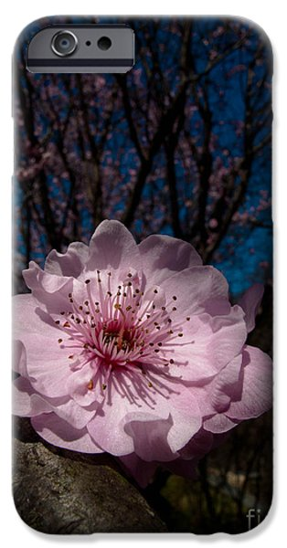 Single Blossom iPhone Case by Thomas Courtney