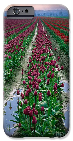 Agricultural iPhone Cases - Skagit Valley Tulips iPhone Case by Inge Johnsson