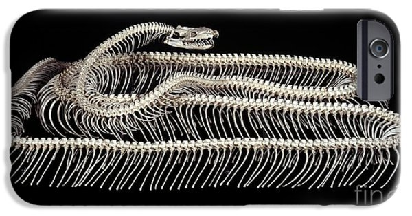 Burmese Python iPhone Cases - Skeleton Of A Tiger Python Snake iPhone Case by Natural History Museum, London