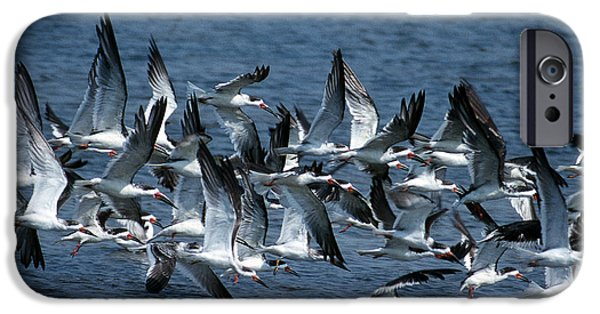Birds iPhone Cases - Skimmers iPhone Case by Skip Willits