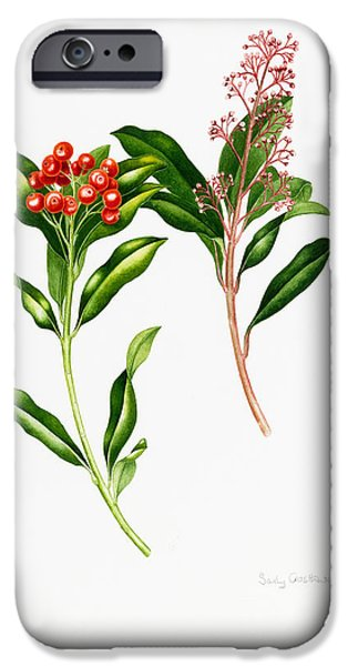 Berries iPhone Cases - Skimmia Japonica Rutaceae iPhone Case by Sally Crosthwaite
