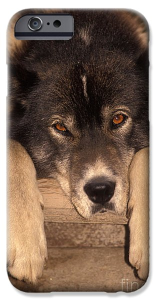 Dog Close-up iPhone Cases - Sled Dog iPhone Case by Ron Sanford