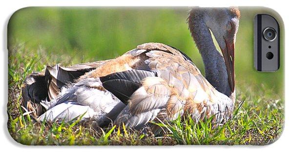 Baby Bird iPhone Cases - Sleepy Baby Sandhill Crane iPhone Case by Carol Groenen